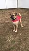 Puggle Puppy For Sale in BRONX, New York,