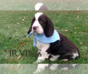 English Springer Spaniel Puppy for sale in INDIANAPOLIS, IN, USA