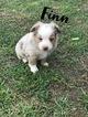 Miniature Australian Shepherd Puppy For Sale in BIRCHWOOD, TN, USA