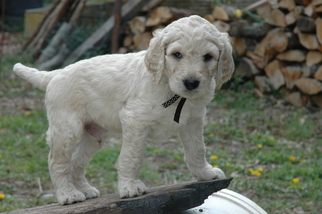 Goldendoodle Puppy For Sale in GEORGETOWN, IN