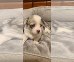 Puppy 3 Welsh Cardigan Corgi