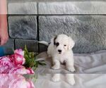 Small #8 Poodle (Miniature)-Saint Bernard Mix