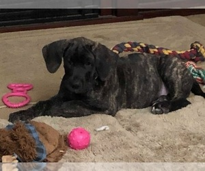 Great Dane Puppy for sale in MOUNT PLEASANT, WI, USA