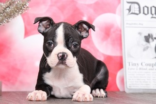 Boston Terrier Puppy for sale in BEL AIR, MD, USA
