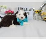 Puppy 5 Aussiedoodle Miniature
