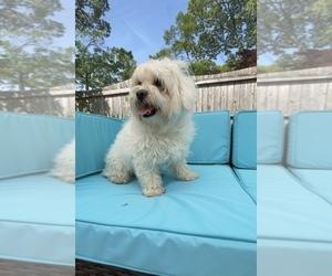 Maltese Puppy for sale in ELBERON PARK, NJ, USA