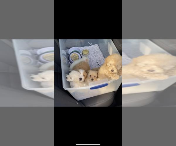 Medium Photo #4 Maltipoo Puppy For Sale in BALDWIN, NY, USA