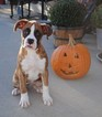 Boxer Puppy For Sale in SENECA, KS,