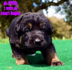 German Shepherd Dog Puppy For Sale in MURRIETA, CA
