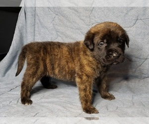 Mastiff Puppy for sale in LE ROY, MI, USA