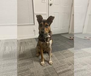 Australian Kelpie Dog for Adoption in SAN JOSE, California USA