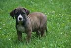Presa Canario Puppy For Sale near 44627, Fredericksburg, OH, USA