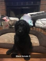 Labradoodle Puppy For Sale in MCDONOUGH, GA, USA