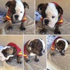 Bulldog Puppy For Sale in MORENO VALLEY, CA