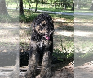 Airedoodle Puppy for sale in LEOMA, TN, USA