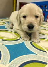 Golden Retriever Puppy For Sale in WAUKESHA, WI, USA