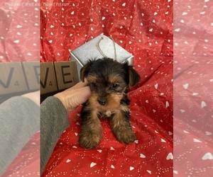 Yorkshire Terrier Puppy for sale in SIERRA VISTA, AZ, USA