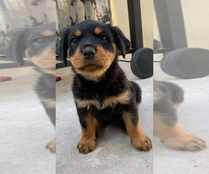 Rottweiler Puppy for sale in CORONA, CA, USA