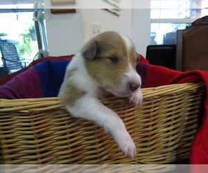 Collie Puppy for sale in PALM BAY, FL, USA