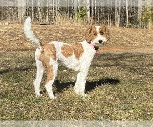 Goldendoodle Puppy for sale in FALMOUTH, VA, USA