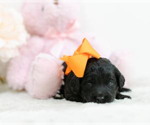 Medium Irish Setter-Poodle (Toy) Mix