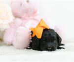Puppy 2 Irish Setter-Poodle (Toy) Mix