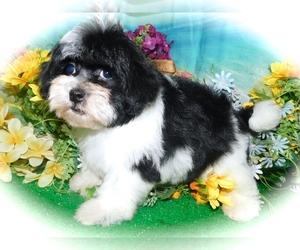 Havashu Puppy for Sale in HAMMOND, Indiana USA