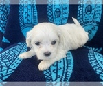 Puppy 3 Mal-Shi-Maltese Mix