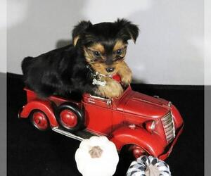 Yorkshire Terrier Puppy for Sale in NICHOLSON, Georgia USA