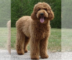 Father of the Australian Labradoodle puppies born on 03/07/2021