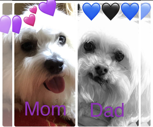 Father of the Maltese puppies born on 02/03/2021