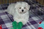 Maltese Puppy For Sale in TUCSON, AZ