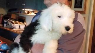 Old English Sheepdog Puppy For Sale in RIDGEFIELD, WA