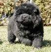 Puppy 0 Chow Chow