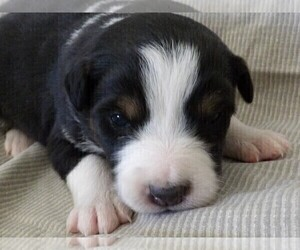 Australian Shepherd Puppy for sale in JEROMESVILLE, OH, USA