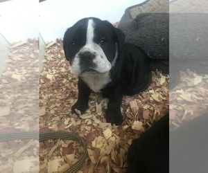 Bulldog Puppy for sale in LAKESIDE, CA, USA