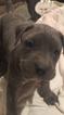 Puppy 6 Presa Canario