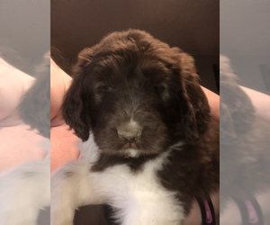 Newfoundland-Poodle (Standard) Mix Puppy for sale in BEVERLY, OH, USA