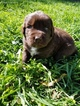 Newfoundland Puppy For Sale in RADCLIFFE, IA,