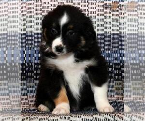 Australian Shepherd Puppy for sale in MANTUA, OH, USA