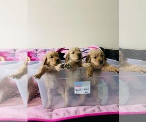 Golden Retriever Puppy for Sale in EL PASO, Texas USA