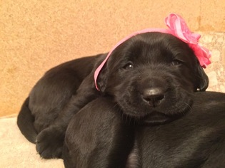 Golden Labrador Puppy For Sale in MENIFEE, CA, USA