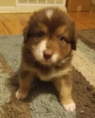 Australian Shepherd Puppy For Sale in DENTON, TX, USA