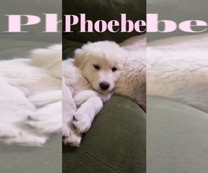 Golden Pyrenees-Great Pyrenees Mix Puppy for sale in RAVENNA, MI, USA