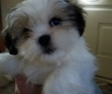 Cava-Tzu Puppy For Sale in NEWPORT, MI