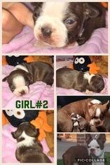 Boston Terrier Puppy For Sale in BAKERSFIELD, CA