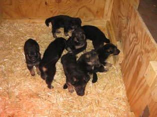 German Shepherd Dog Puppy For Sale in CLINTON, MD