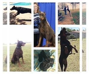 Doberman Pinscher Puppy for Sale in CALDWELL, Texas USA