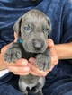 Great Dane Puppy For Sale in JAMESTOWN, NY, USA