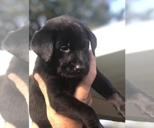 Labrador Retriever Puppy for sale in ABITA SPRINGS, LA, USA